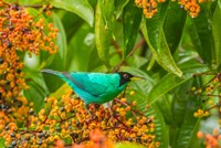 Costa Rica, Arenal Green Honeycreeper And Berries Fine Art Print