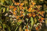 California, San Luis Obispo County Clustering Monarch Butterflies On Branches Fine Art Print