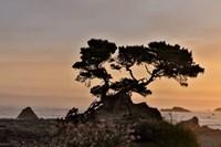 Cypress Tree At Sunset Along The Northern California Coastline, Crescent City, California Fine Art Print