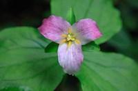Trillium Perennial Flowering Plant Fine Art Print