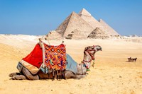 Camel Resting by the Pyramids, Giza, Egypt Fine Art Print
