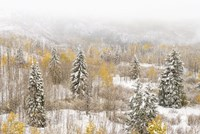 Colorado, White River National Forest, Snowstorm On Forest Fine Art Print