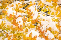 White River National Forest, Snow Coats Aspen Trees In Winter Fine Art Print