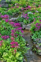 Marsh Primrose Along Small Stream, Winterthur Gardens, New Castle County, Delaware Fine Art Print
