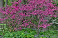 Redbud Tree In Full Bloom, Mt, Cuba Center, Hockessin, Delaware Fine Art Print