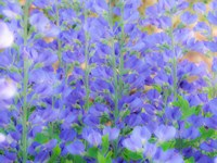 Blue Wild Indigo, Baptisia Australis, A Native American Wildflower Fine Art Print