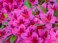 Hot Pink Azaleas In A Garden Fine Art Print
