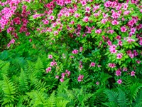 Delaware, Azalea Shrub With Ferns Below In A Garden Fine Art Print