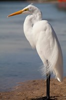 Great Egret (Ardea Alba) On Tigertail Beach Lagoon, Marco Island, Florida Fine Art Print