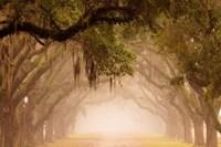 Georgia, Savannah, Wormsloe Plantation Drive In The Early Morning Fog Fine Art Print
