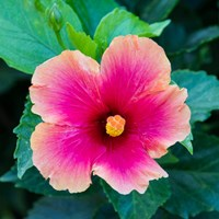 Tropical Hibiscus Flower, Maui, Hawaii Fine Art Print