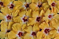 Yellow Hibiscus Flower Grouping, Maui, Hawaii Fine Art Print