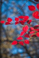 Red Leaves On Tree Branch Against Blue Sky Fine Art Print