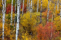 Aspen Grove In Peak Fall Colors In Glacier National Park, Montana Fine Art Print