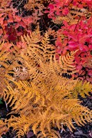 Autumn Ferns And Ground Cover, Glacier National Park, Montana Fine Art Print