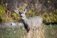 A Mule Deer Buck At National Bison Range, Montana Fine Art Print
