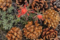 Indian Paintbrush And Pine Cones In Great Basin National Park, Nevada Fine Art Print