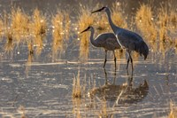 Sandhill Cranes In Water Framed Print