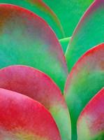 Oregon, Kalanchoe Succulent Plant Close-Up Fine Art Print
