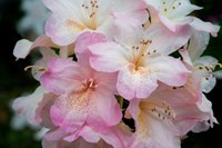 Oregon, Shore Acres State Park Rhododendron Flowers Close-Up Fine Art Print
