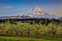 Oregon Pear Orchard In Bloom And Mt Hood Fine Art Print