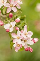 Hood River, Oregon, Close-Up Of Apple Blossoms Fine Art Print