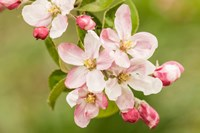 Hood River, Oregon, Apple Blossoms In The Nearby Fruit Loop Area Fine Art Print