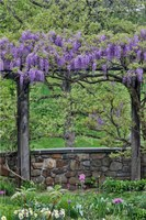 Wisteria In Full Bloom On Trellis Chanticleer Garden, Pennsylvania Fine Art Print
