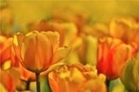Tulip Garden, Longwood Gardens, Pennsylvania Fine Art Print