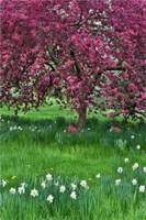Springtime Crabapple In Rose Blooming, Chanticleer Garden, Pennsylvania Fine Art Print