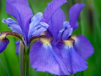 Close-Up Of Purple Iris Flowers Blooming Outdoors Fine Art Print