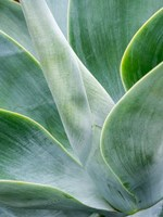 Close-Up Of The Tropical Agave Plant Fine Art Print
