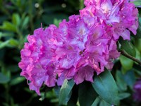 Large Pink Rhododendron Blossoms In A Garden Fine Art Print