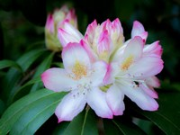 Variegated Pink And White Rhododendron In A Garden Fine Art Print
