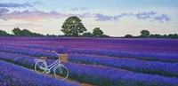 Evening Lavender Fine Art Print