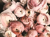 Coral Ranunculus Fine Art Print