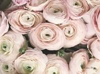 Soft Pink Ranunculus Fine Art Print