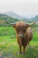 Scottish Highland Cattle VI Fine Art Print