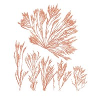 Pacific Sea Mosses XXI Red Sq Fine Art Print