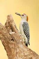 Golden-Fronted Woodpecker Eating A Seed, Linn, Texas Fine Art Print