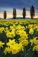 Fields Of Yellow Daffodils In Late March, Skagit Valley, Washington State Fine Art Print