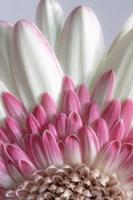 Gerbera Daisy Flower Close-Up Fine Art Print