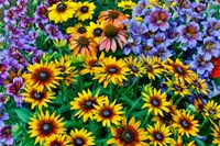 Painted Tongue And Hirta Daisies In Tight Grouping Fine Art Print