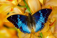 Charaxes Smaragdalis Butterfly On Large Golden Cymbidium Orchid Fine Art Print