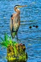Great Blue Heron, Juanita Bay Park, Kirkland, Washington State Fine Art Print