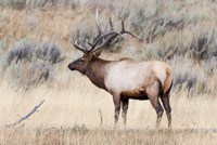 Portrait Of A Bull Elk With A Large Rack Fine Art Print