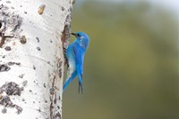 A Male Mountain Bluebird Perching At Its Nest Hole Fine Art Print