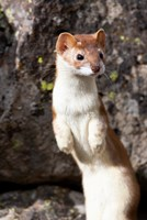 Portrait Of A Long-Tailed Weasel Fine Art Print