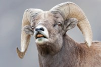 Bighorn Ram Lifts Its Lip In A Flehmen Fine Art Print