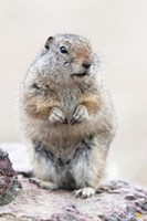 Richardson's Ground Squirrel Fine Art Print